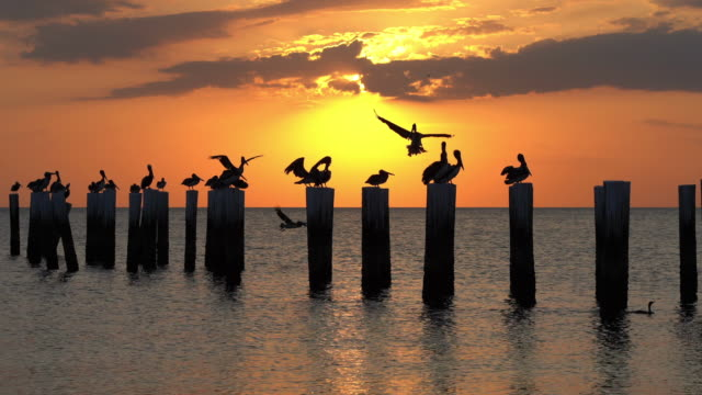 Pelicans flying over wooden posts in front of Florida sunset Group of pelicans flying and sitting on old wooden piers in front of beautiful golden Florida sunset. The sun is behind the clouds. pelican stock videos & royalty-free footage