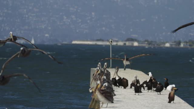 Pelicans in the San Francisco Bay Pelicans in the San Francisco Bay pelican stock videos & royalty-free footage