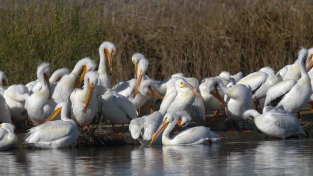 Pelicans in water Shorebird in Wetlands pelican stock videos & royalty-free footage