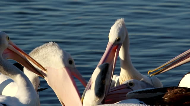 Pelicans land for a feed flies in and lands ready to eat (Australian) pelican stock videos & royalty-free footage