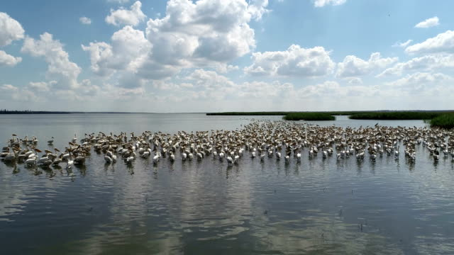 Pelicans nest on the lake Pelicans nest on the lake, migration of birds, flight to the south pelican stock videos & royalty-free footage
