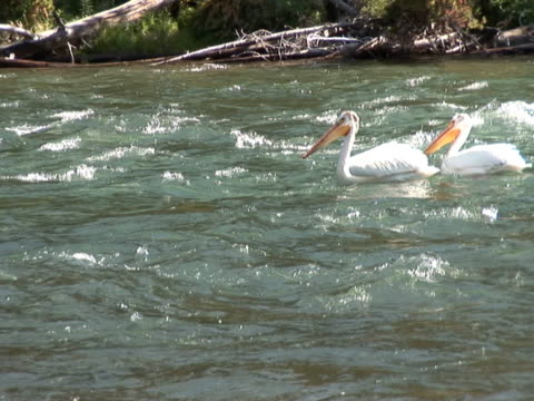 NTSC: Pelicans on river Pelicans bobbing on a river in Yellowstone National Park water bird stock videos & royalty-free footage