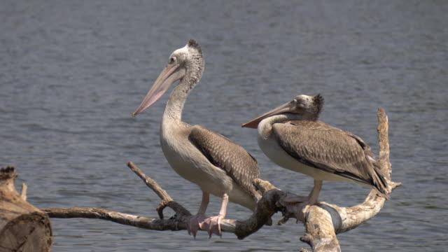 Pelicans resting. Pelicans,wing,pond, pelican stock videos & royalty-free footage