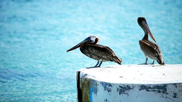 HD Pelicans standing a a dock at a Caribbean island Pelicans standing a a dock at a Caribbean island, Los Roques, Venezuela pelican stock videos & royalty-free footage