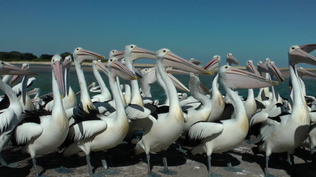Pelicans The Entrance, central coast. NSW the daily pelican feeding of more than eighty birds. pelican stock videos & royalty-free footage