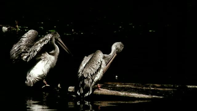 Pelicans,slow motion