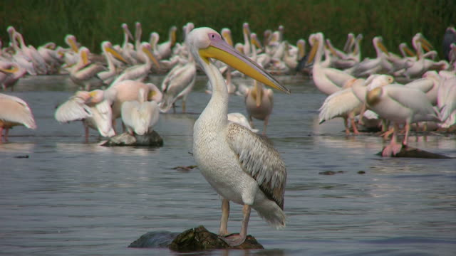 Pelikan group of pelicans at the water pelican stock videos & royalty-free footage