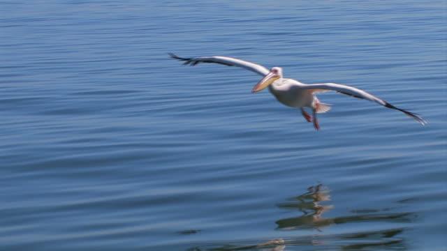 Pelikane_Flug2 pelicans flying and landing at the water pelican stock videos & royalty-free footage