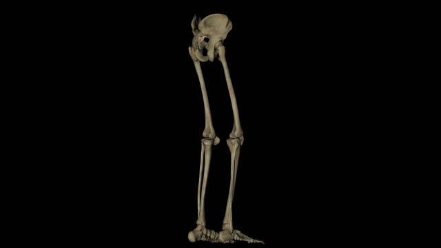 pelvis und beine skelett des menschlichen körpers - gliedmaßen körperteile stock-videos und b-roll-filmmaterial