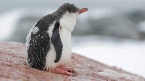 un pulcino pinguino trema - carino video stock e b–roll