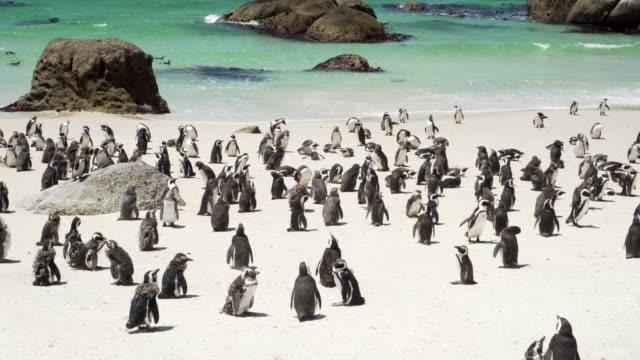 kolonia pingwinów na pięknej plaży w republice południowej afryki - pingwin filmów i materiałów b-roll