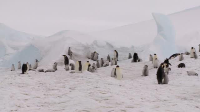 Pingüino panorama de la colonia - vídeo