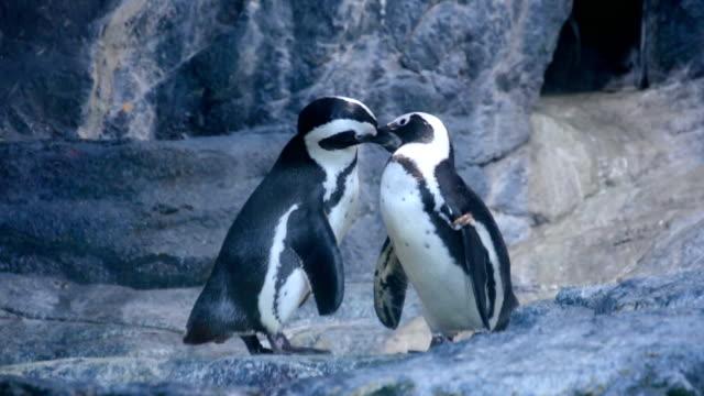 pingwin para przytulanie w natura - pingwin filmów i materiałów b-roll