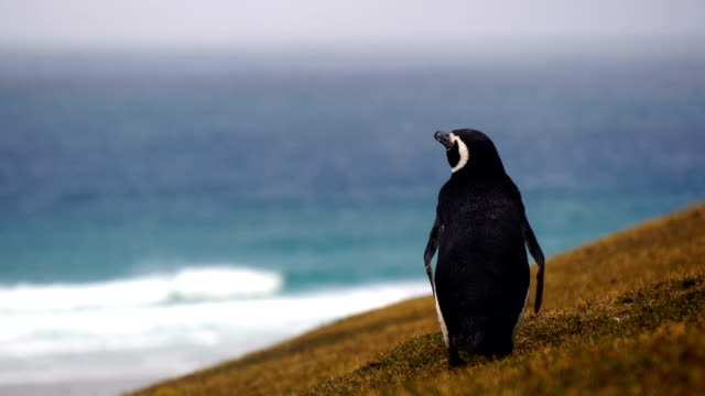 pingwin na antarktydzie. inspirujący obraz podróży. - pingwin filmów i materiałów b-roll