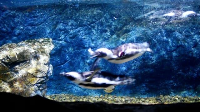 pingwin pływanie pod wodą - pingwin filmów i materiałów b-roll