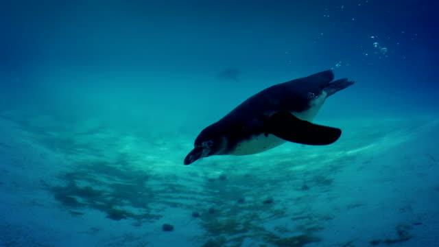 vidéos et rushes de pingouin nage jusqu'à la caméra et twirls - zoo