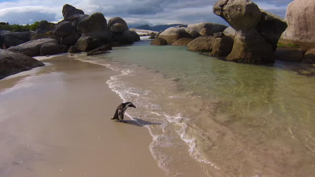 Penguin walking in Boulder Beach Close-up of a penguin walking on the white sand of Boulder Beach Nature and Reserve. The popular colony of African penguins is located near Simon's Town and Cape Town in South Africa. cape town stock videos & royalty-free footage
