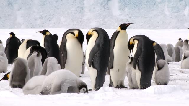 pingwiny wiszący głowy w dół - pingwin filmów i materiałów b-roll