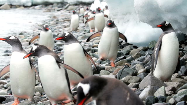 Penguins in Antarctica video