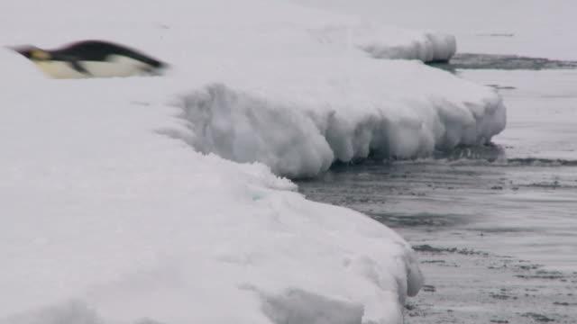 pingwiny skok bez wody - pingwin filmów i materiałów b-roll