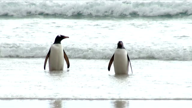 Penguins - Magellan and Gentoo video
