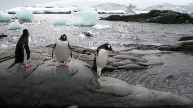 Pinguïns op besneeuwde rotsachtige kust in de oceaan van Antarctica. video
