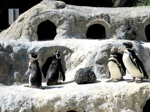 penguins (pal - aquarium oder zoo stock-videos und b-roll-filmmaterial