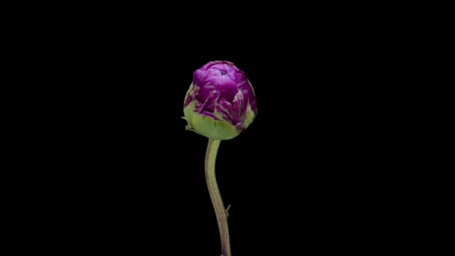 timelapse in fiore peonia - fiori video stock e b–roll