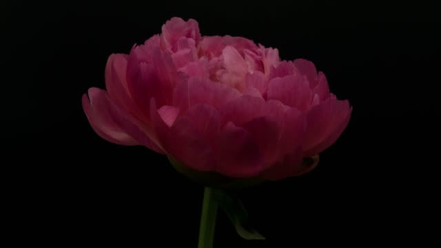 Peony Blooming video