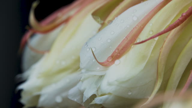 4K Peony Flower with dropping on after raining