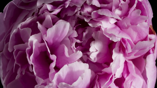 peony macro flower time lapse pink - fiori video stock e b–roll