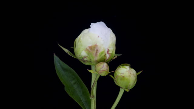 Peony White Blooming Time Lapse