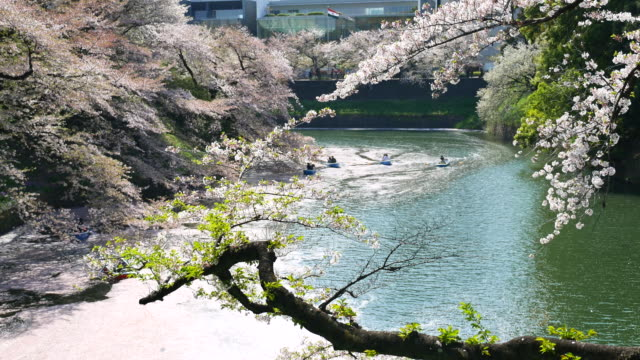 People celebrating the cherry blossom at Japan video