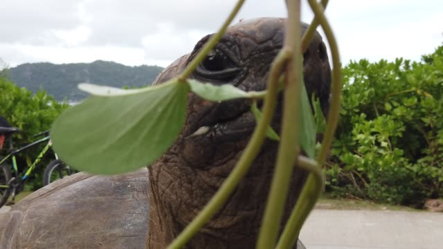 people feeding giant tortoise SLOW MOTION: close up of people feeding a male of Aldabra Giant Tortoise, Aldabrachelys gigantea, a tortoise native to Aldabra atoll. Praslin in Seychelles, archipelago of Indian Ocean. giant tortoise stock videos & royalty-free footage