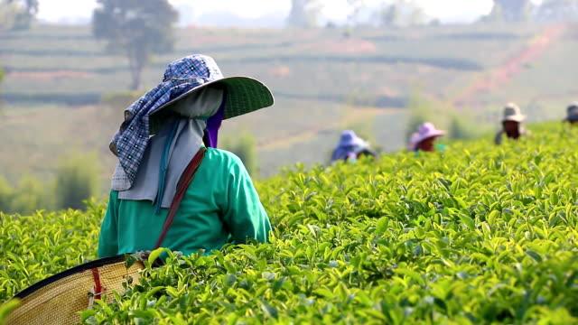 vídeos de stock, filmes e b-roll de pessoas colheita de chá verde bush - plantação