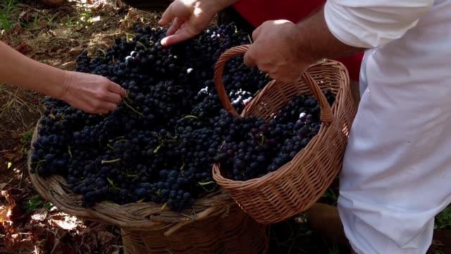 vídeos de stock e filmes b-roll de people harvesting grapes in the vineyard of madeira wine festival in estreito de camara de lobos, madeira island - ilha da madeira
