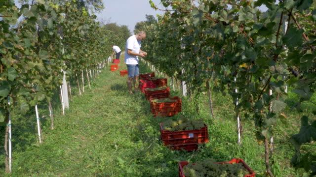 people harvesting grapes in vineyard - gospodarstwo ekologiczne filmów i materiałów b-roll