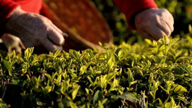 vídeos de stock e filmes b-roll de people harvesting tea leaves on sunny plantation, employment abroad, business - sri lanka