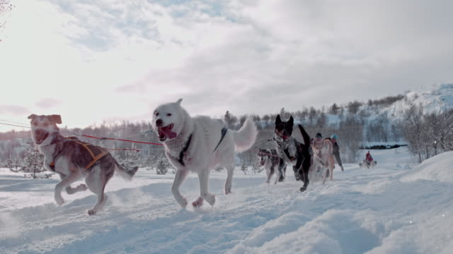 SLO MO People having fun dog sledding in Norway