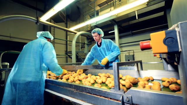people in uniform pick and cut yellow potatoes on a conveyor. - patate video stock e b–roll