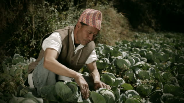 People of Nepal: A farmer working in cabbage farm. video