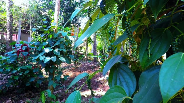 pepper plant with unripe green pepper