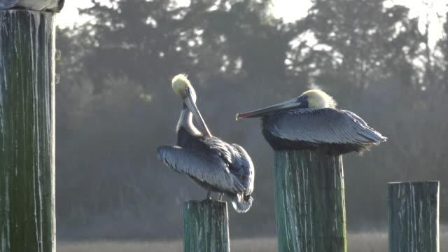 Perched Pelicans video