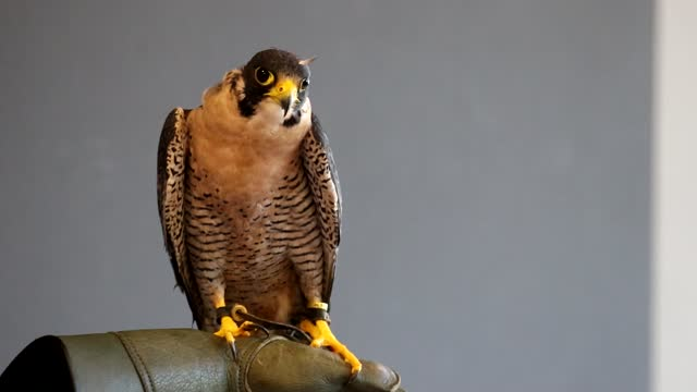 Peregrine falcon perched on falconer's leather glove