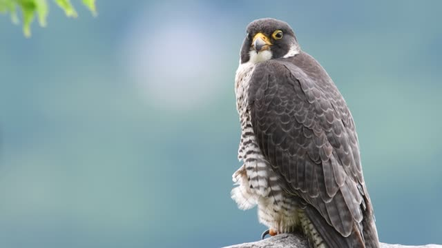 Peregrine Falcon Video Clip A peregrine falcon in New Jersey Video Clip falcon bird stock videos & royalty-free footage