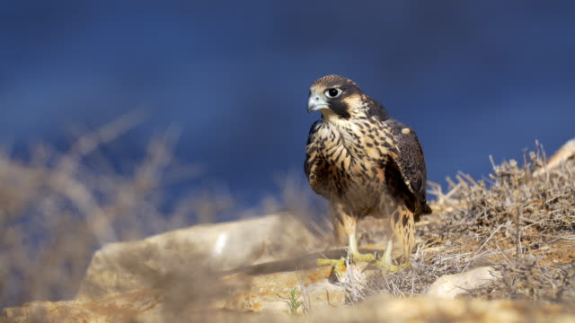 Peregrine Falcon Small Hawk waiting for prey falcon bird stock videos & royalty-free footage