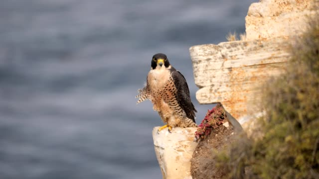 Peregrine Falcon a Falcon sits on a cliff side along the southern California coast falcon bird stock videos & royalty-free footage