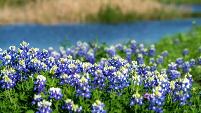 perfekt bluebonnet patch natur tid vårfärger - vild blomma bildbanksvideor och videomaterial från bakom kulisserna
