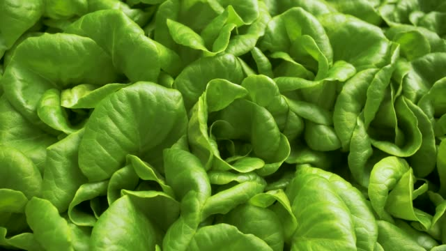 perfect green lettuce leaves Slow motion medium shot of a fresh green lettuce hydroponics stock videos & royalty-free footage