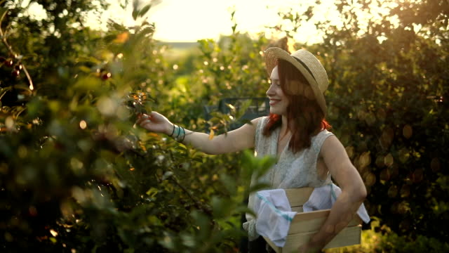vídeos de stock e filmes b-roll de perfect sunny day for picking up cherries - picking fruit